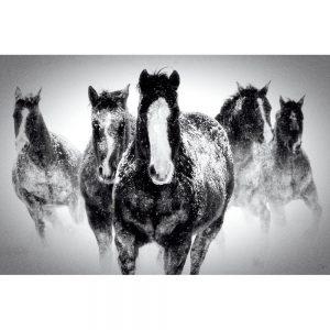 SG1717 horses snow winter black white race photo photograph group