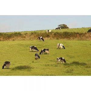 SG1984 cows green pastureland field