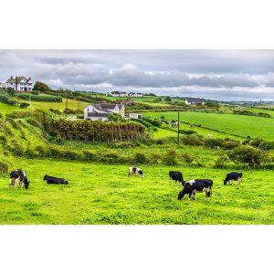 SG2075 ireland herd cows pasture county antrim northern ireland
