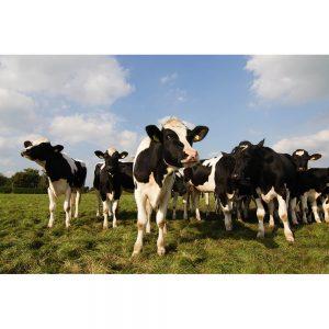 SG2402 herd cows field