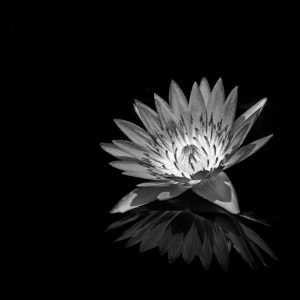 TM2822 flower petals reflection mono