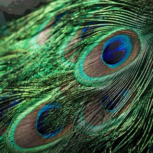 TM2909 feather peacock green blue