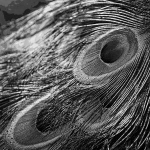 TM2910 feather peacock mono