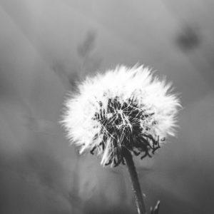 TM2930 dandelion seeds mono
