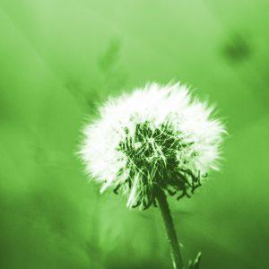 TM2931 dandelion seeds bight green