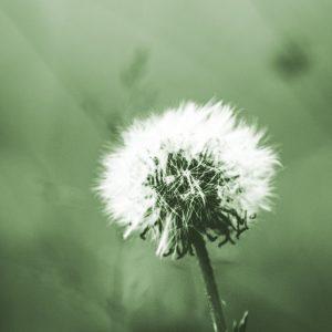 TM2932 dandelion seeds light green