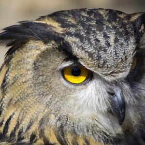 TM2961 yellow owl eye