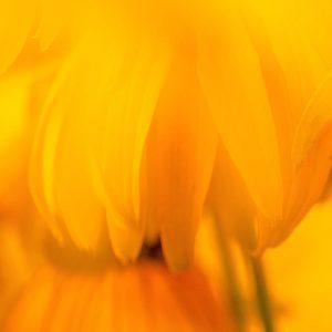 TM2980 yellow flower petals detail