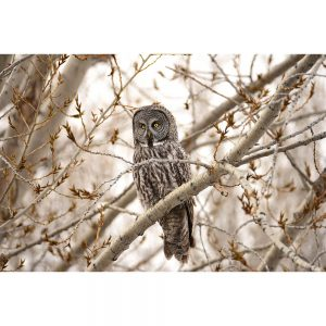 SG2698 great grey owl tree