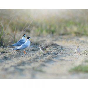 SG2716 tern sternula albifrons baby birds