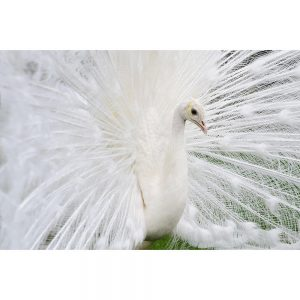 SG2719 male white peacocks tail feathers ukraine