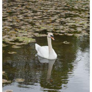 SG2729 swan lake cumbria england